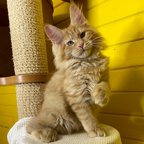 7 Inar Maine Coon male kitten
