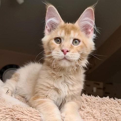 453 Tavares  Maine Coon male kitten