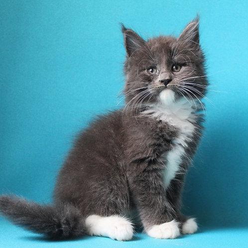 572 Ragnar  Maine Coon male kitten