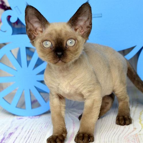 361 Clarence  female kitten Devon Rex