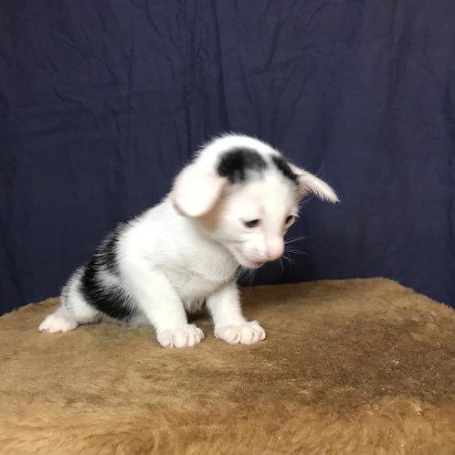 A* Born Heart Oriental male kitten