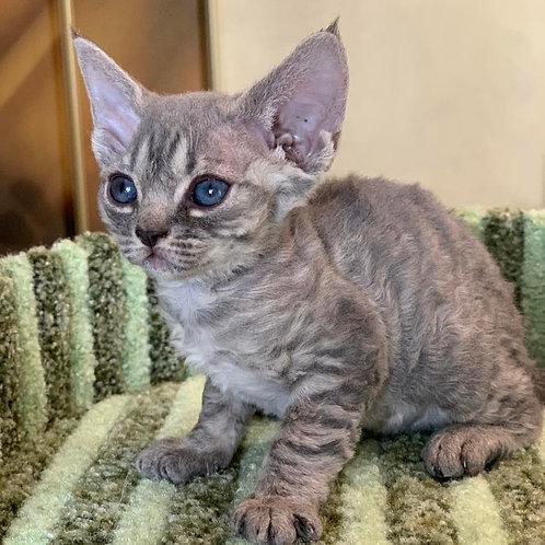 Tiffany female kitten Devon Rex