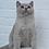 Thumbnail: 342 Greyson    British shorthair male kitten