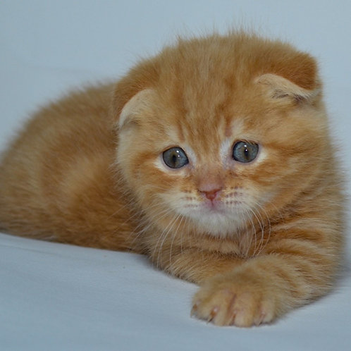 Kubik Scottish fold shorthair male kitten