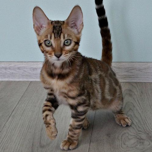 174 Bridget  purebred Bengal female kitten