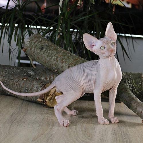 Tutankhamun male Sphinx kitten