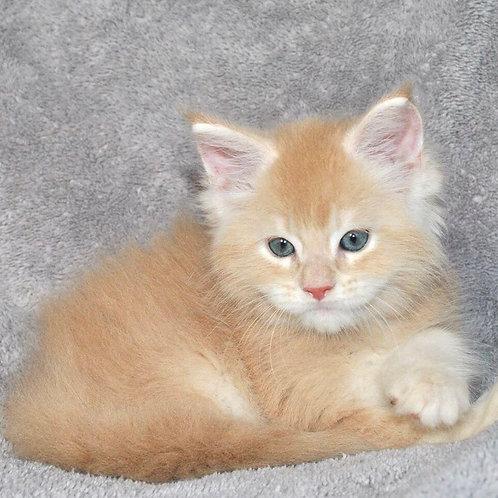 Manchester Maine Coon male kitten