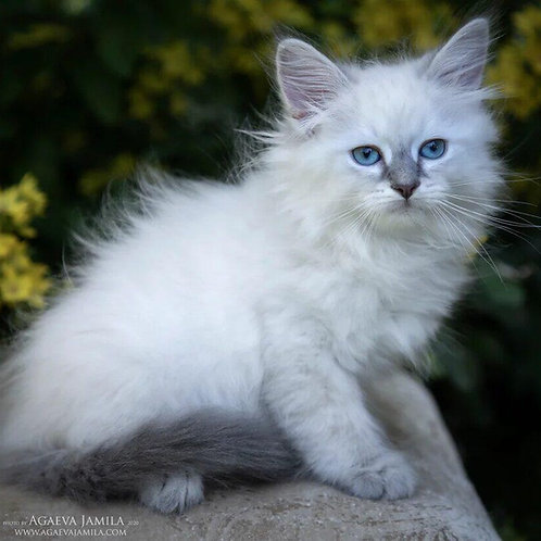 461 Alex Siberian male kitten