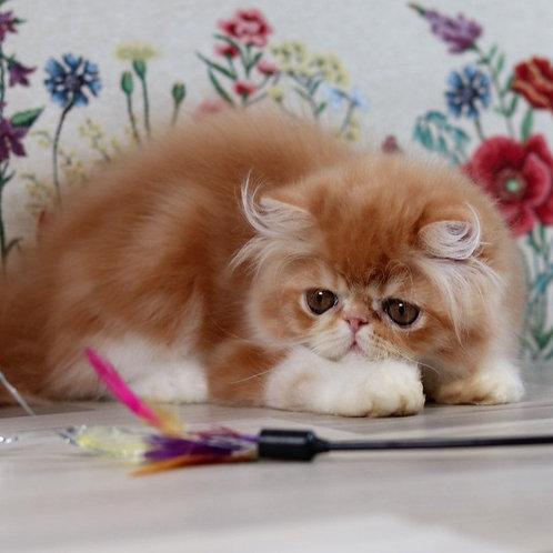 211 Henry   Persian  male kitten