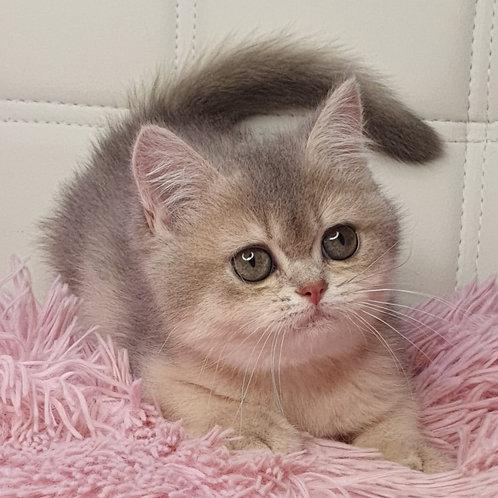 830 Katalina  British shorthair female kitten