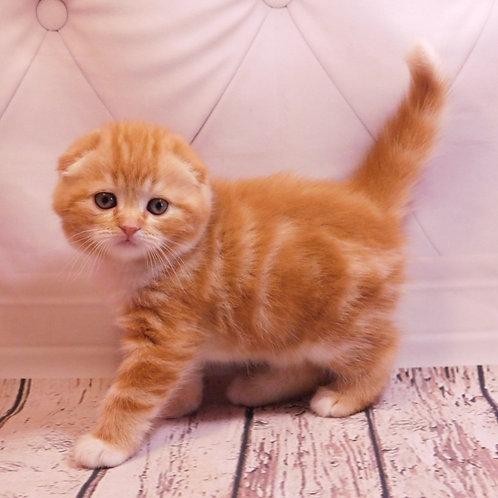 Emir Scottish fold shorthair male kitten