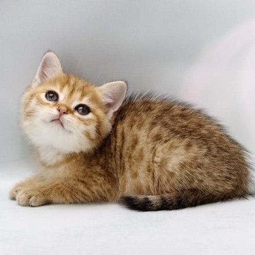 788 Egorushka  British shorthair male kitten