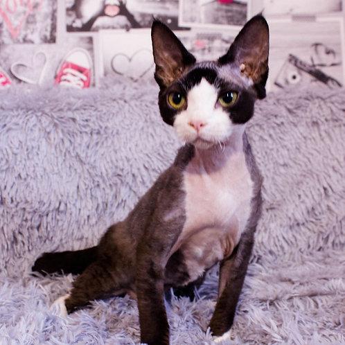 Jynn male kitten Devon Rex