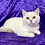 Thumbnail: 1023 Norton   Scottish straight shorthair male kitten