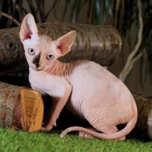 312 Uma  female Sphynx kitten