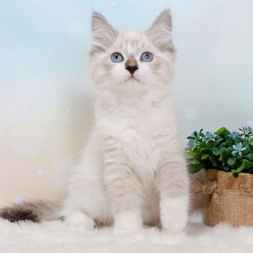 270 Marzipan      Siberian male kitten