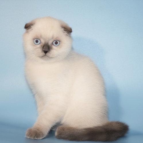 453 Dilan Scottish fold shorthair male kitten