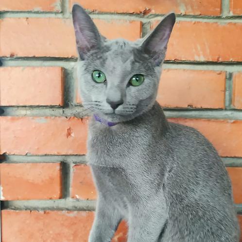 215 Fabian   Russian blue male kitten