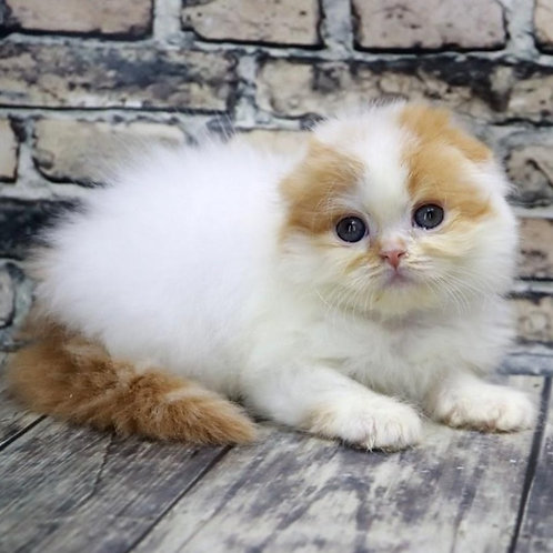 1134 Milka  Scottish fold longhair female kitten