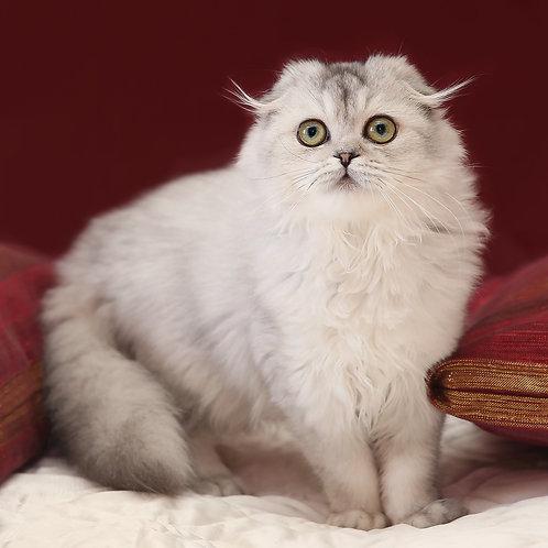 447 Cherutti     Scottish fold longhair female kitten