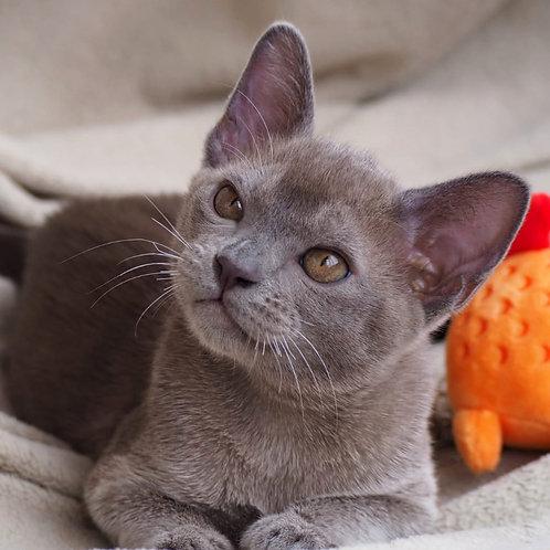 199 Crishna   Burmese  male kitten