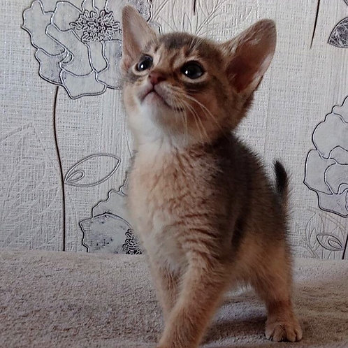 110 Forest Gump  purebred Abyssinian male kitten