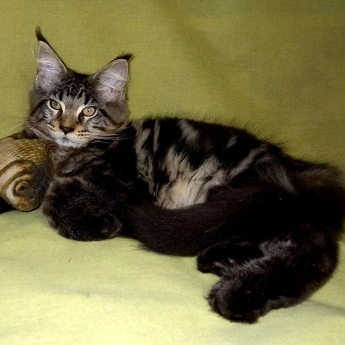 731 Edgard   Maine Coon male kitten