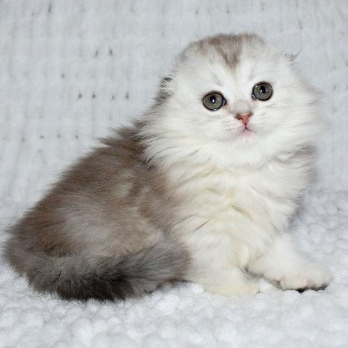 407 Jolly      Scottish fold longhair female kitten