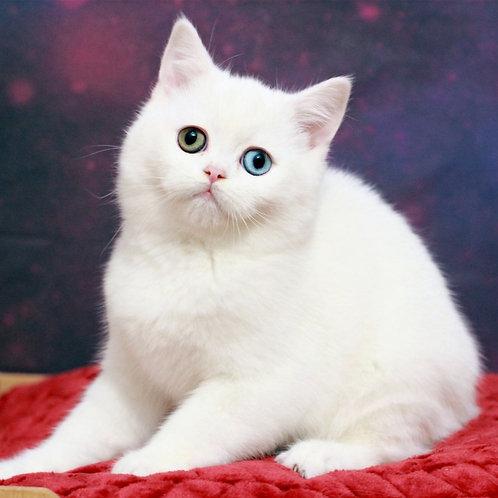 613 Ronny Scottish straight shorthair male kitten