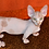 Thumbnail: 489 Kosmos male Bambino  kitten