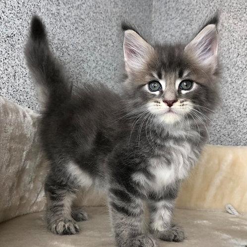 847 Qashqai  Maine Coon male kitten