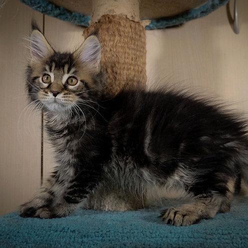 862 Usher polydactyl 66/66  Maine Coon male kitten