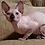 Thumbnail: 594 Evona  female Sphynx   kitten