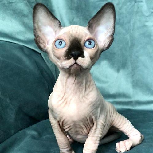 446 Buffy  female Sphynx  kitten