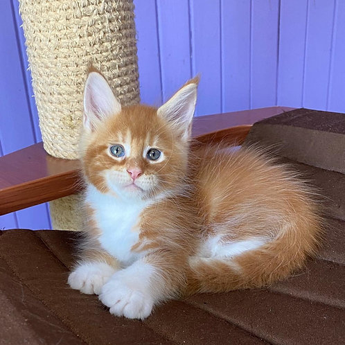 Ixion Maine Coon male kitten
