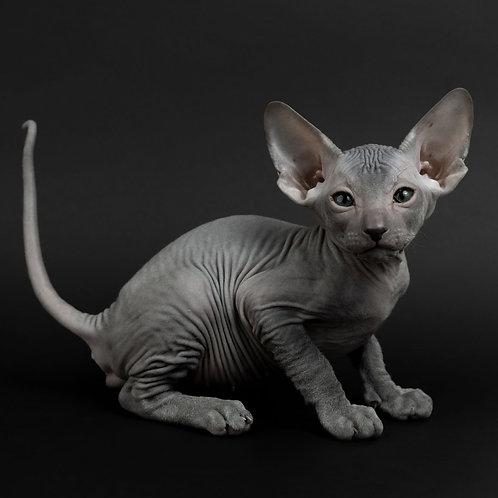 338 Draco   male Peterbald kitten