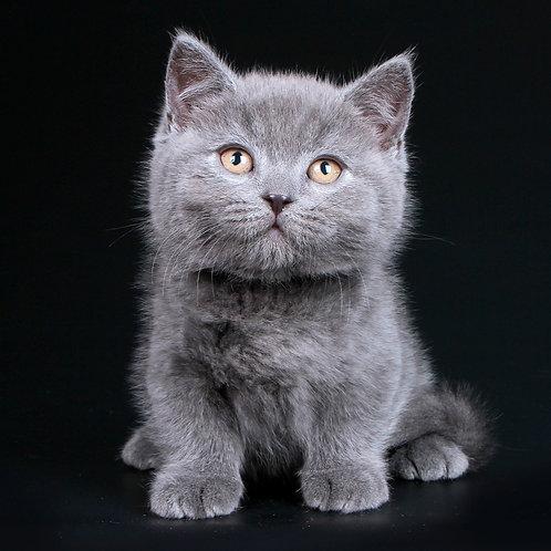 310 Upg    Munchkin shorthair male kitten