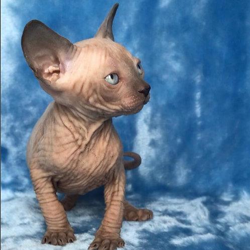 311 Pamir male Sphinx kitten