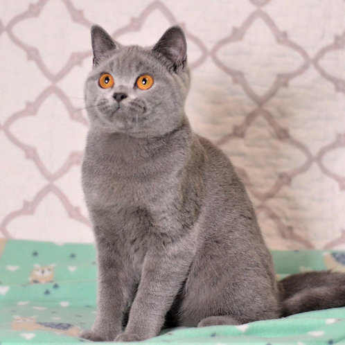 306 Ferdinand    British shorthair male kitten