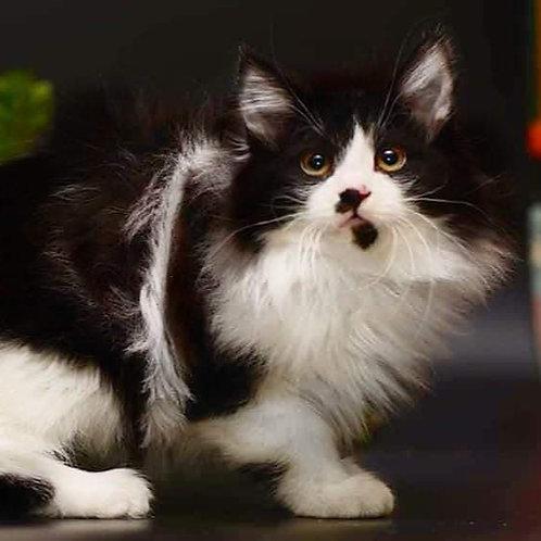 222 Darcey  Kurilian Bobtail male kitten