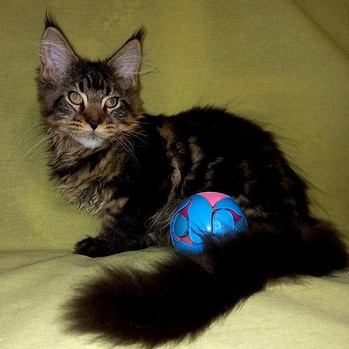 732 Edward   Maine Coon male kitten