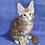 Thumbnail: 614 Betty  Maine Coon female kitten