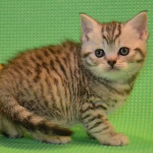 512 Kayli      Scottish straight shorthair female kitten