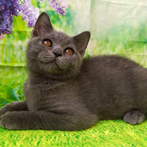 902 Figaro   Scottish straight shorthair male kitten
