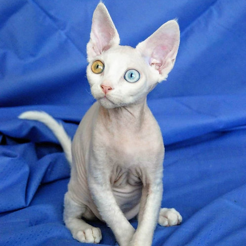 558 Leonardo  male kitten Devon Rex