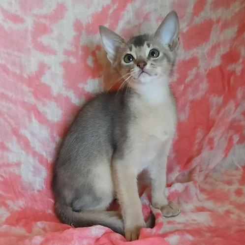 181 Darius   purebred Abyssinian male kitten