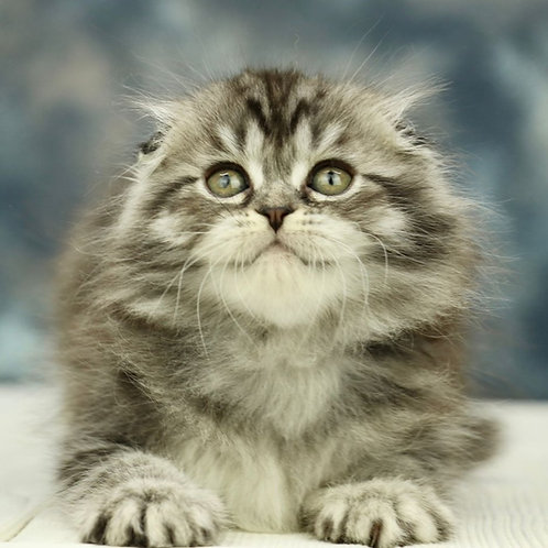 1137 Ornella  Scottish fold longhair female kitten