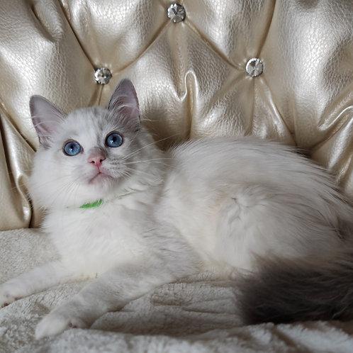 220 Qiwi Ragdoll male kitten