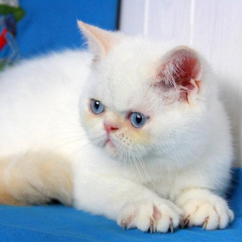 210 Topaz  Exotic  male kitten