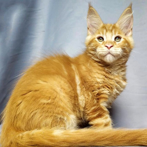 643 Oliver  Maine Coon male kitten